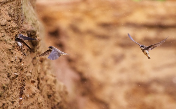 Suffolk sand martins 5