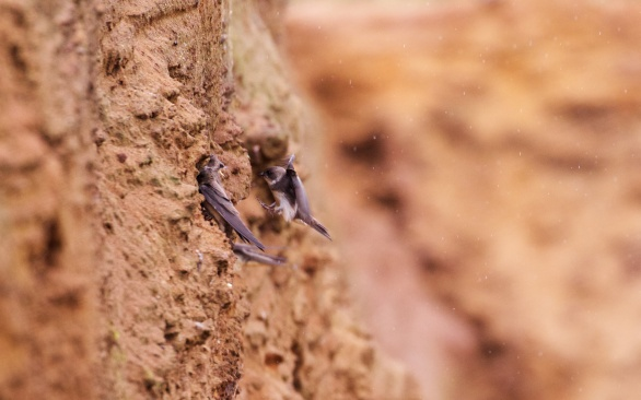 Suffolk sand martins 6