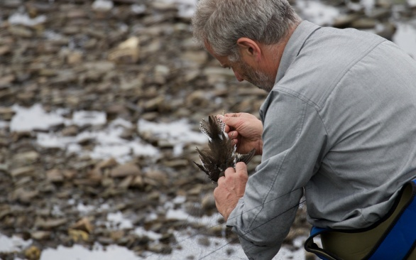Common sandpiper being retrieved from the mist net