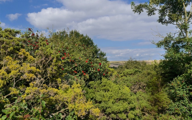 Whitebeam and gorse scrub