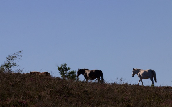 Ponies moving in line in the late evening
