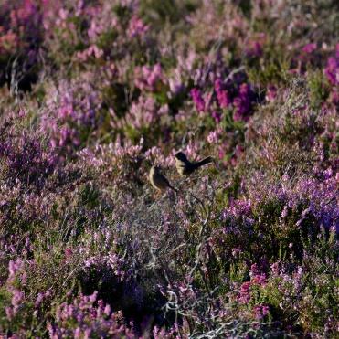 Dartford warblers in deep heather