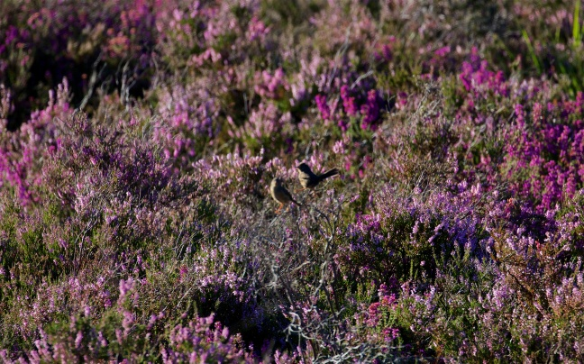 Dartford warblers in deep heather