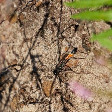 Sand digger wasp
