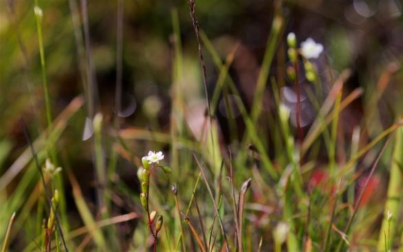 Sundew flowers