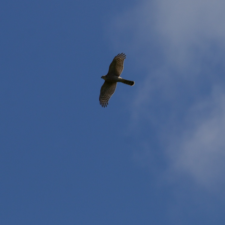 Male goshawk moving low over the forest