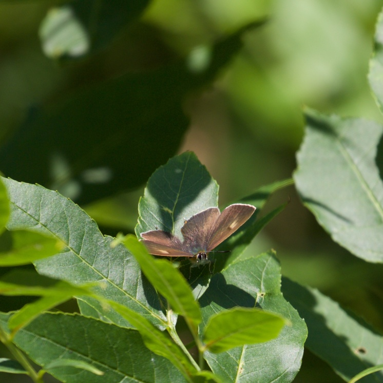 Male brown hairstreak on ash 3