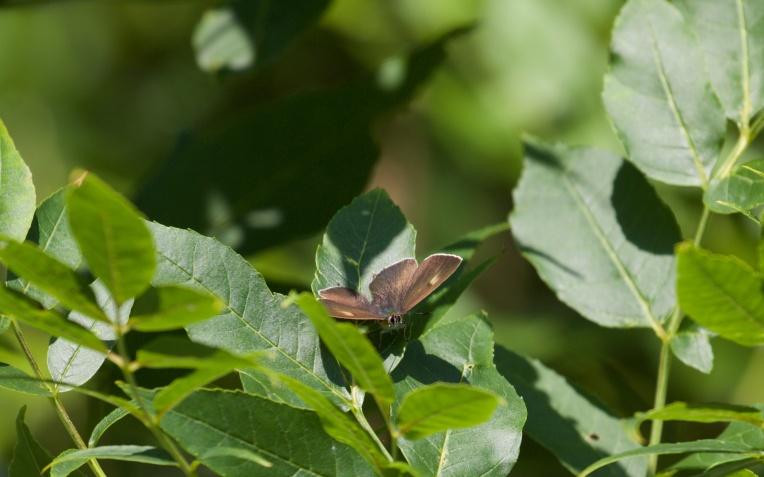 Male brown hairstreak on ash 3