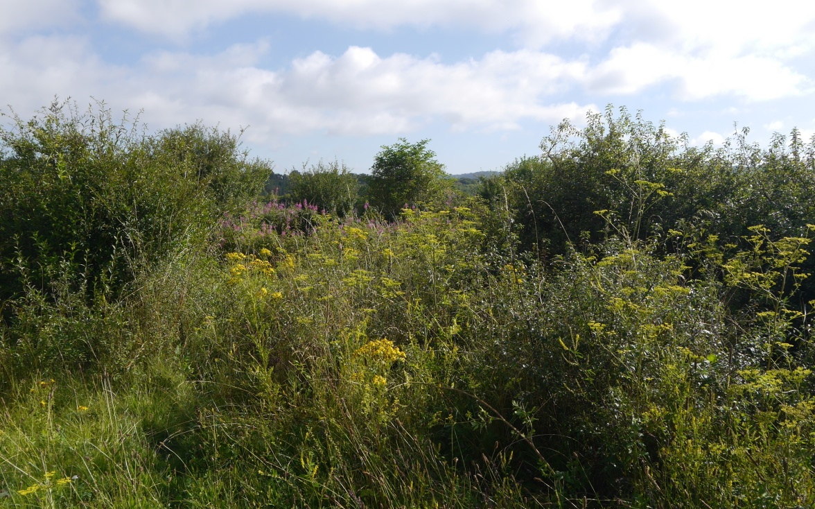 Wild parsnip fills the hedgerows