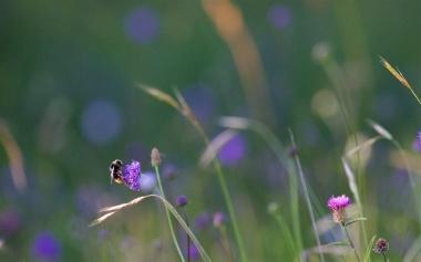 Bumblebee bending a devil's bit scabious flower