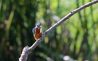 Kingfisher with minnow