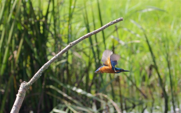 Kingfisher off down the ditch