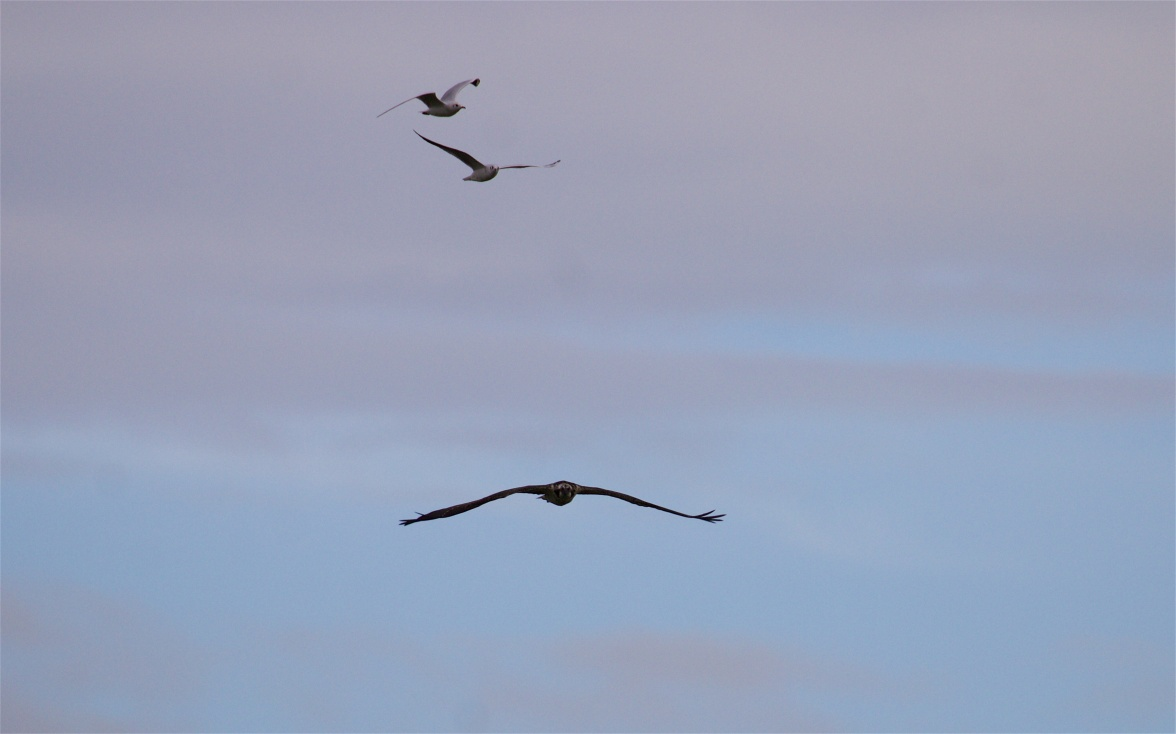 Osprey and pursuing black-headed gulls