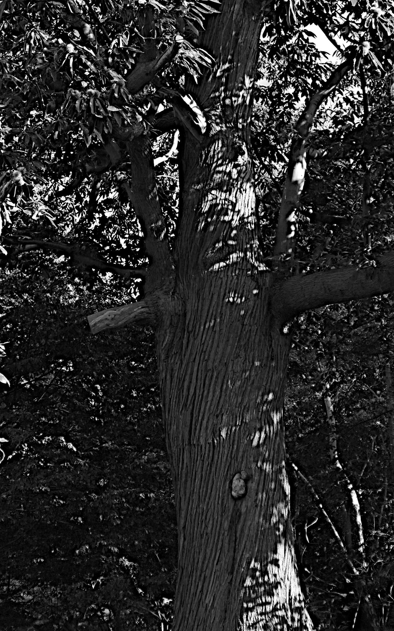 Corkscrewing bark of a mature sweet chestnut