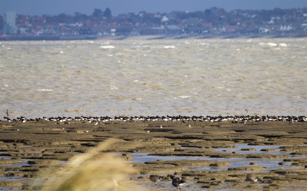 Raised beach edged with oystercatchers.