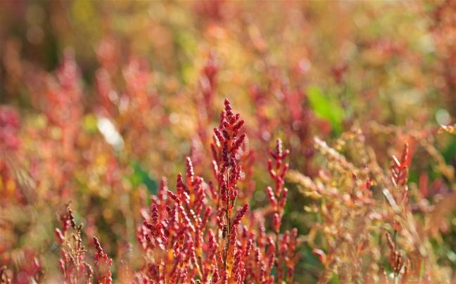 Glasswort Salicornia sp.