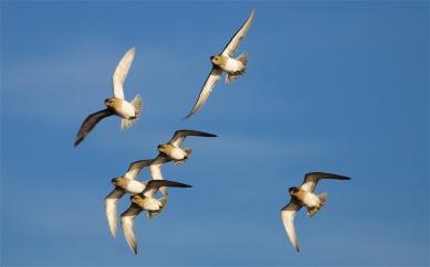 Golden plover flock 2