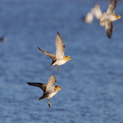 Golden plover landing back at the East Flood