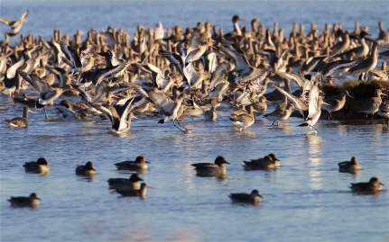 Black-tailed godwits alighting with teal in the foreground