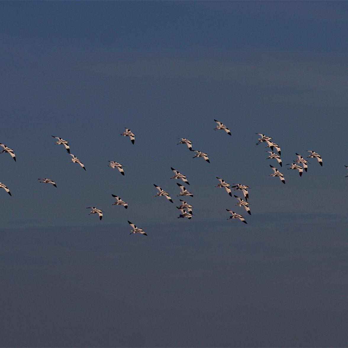 Wheeling avocet flock