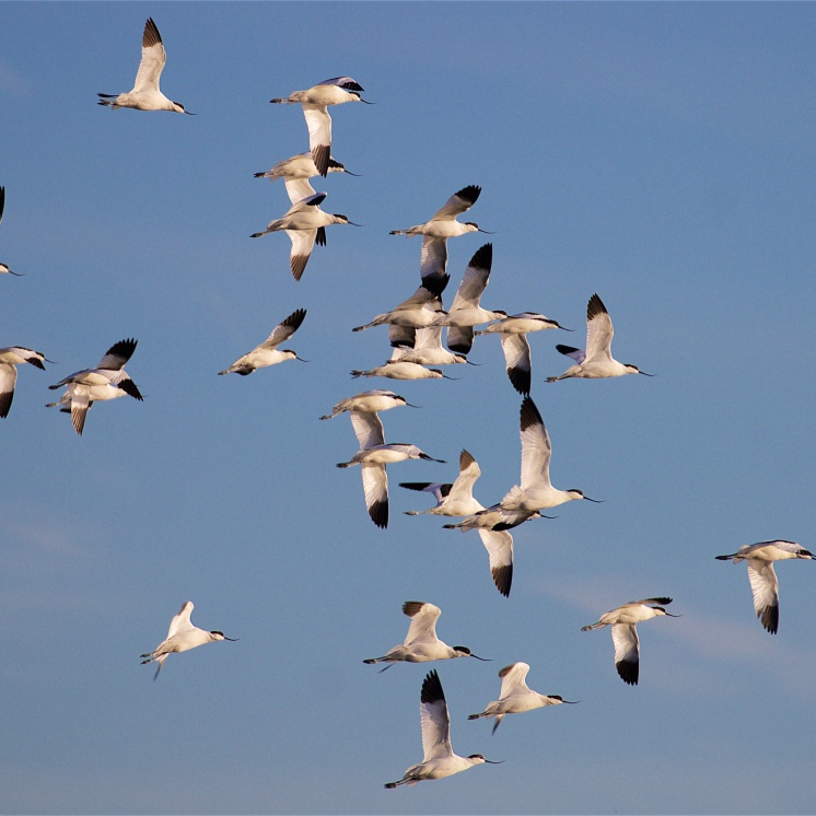 Avocets in winter sun