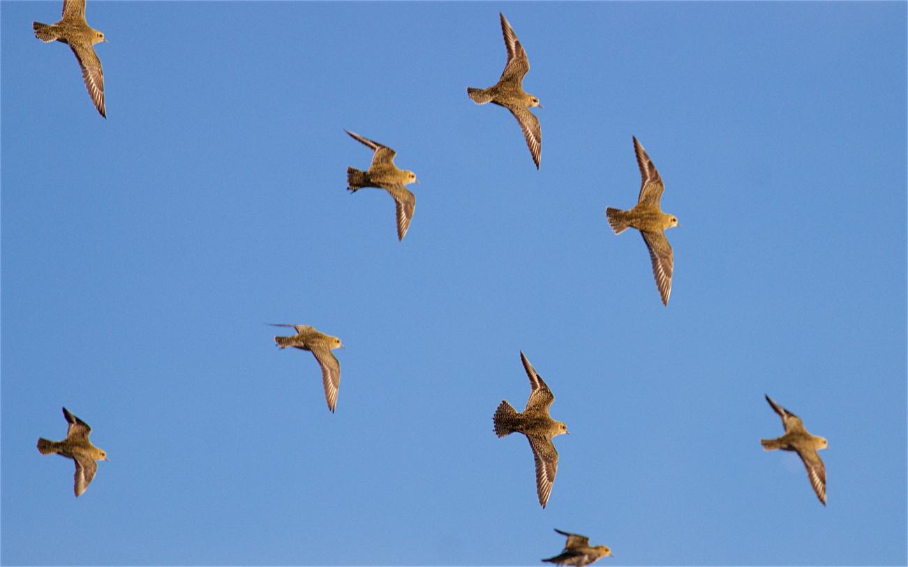 Golden plover flock 1