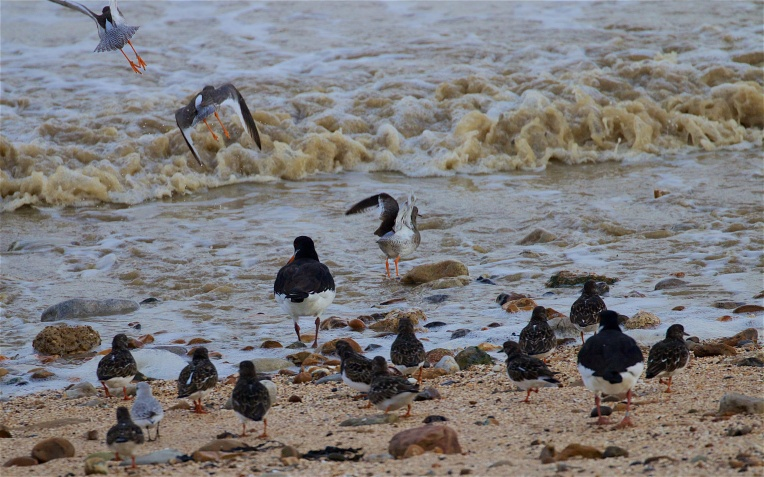 Disturbed redshanks, oystercatchers, turnstones,