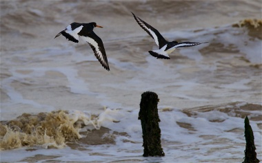 Oystercatchers moving down the shore