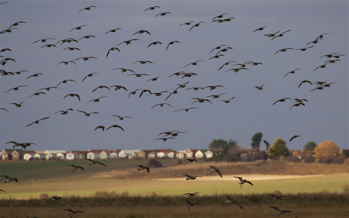 Curlews dropping in to roost in the saltmarsh