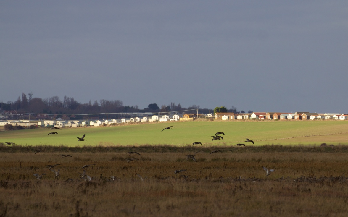 Curlew flock on the saltmarsh
