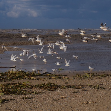 Terns and gulls at the outfall of the Alexander Stream