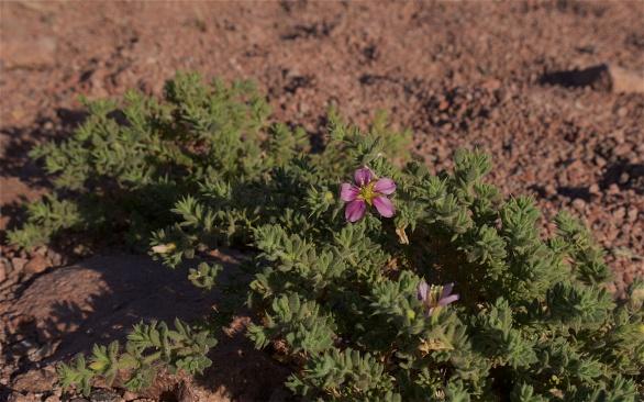 Winter flower in Timna