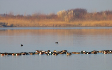 Feeding flock of shovelers on one of the flooded clay pits