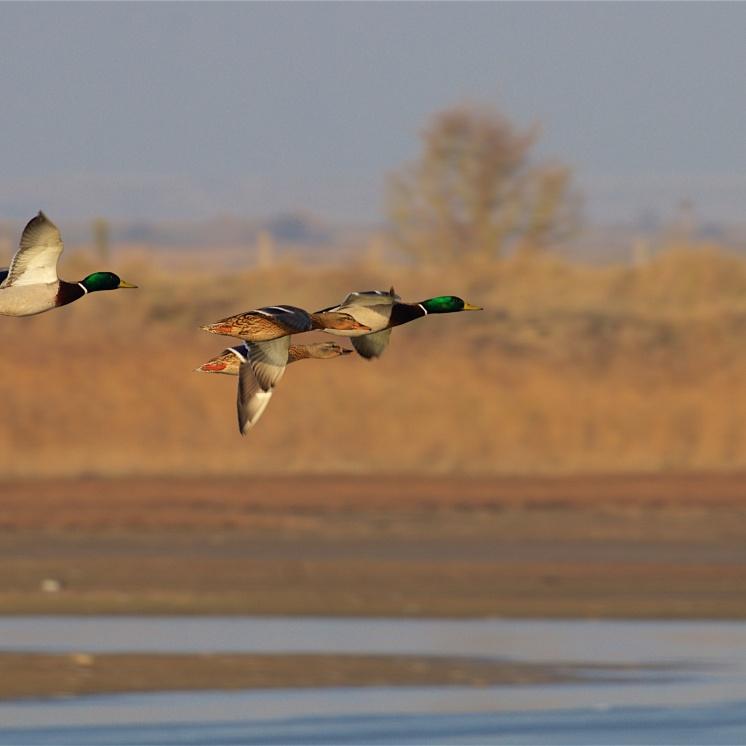 Mallard ducks and drakes