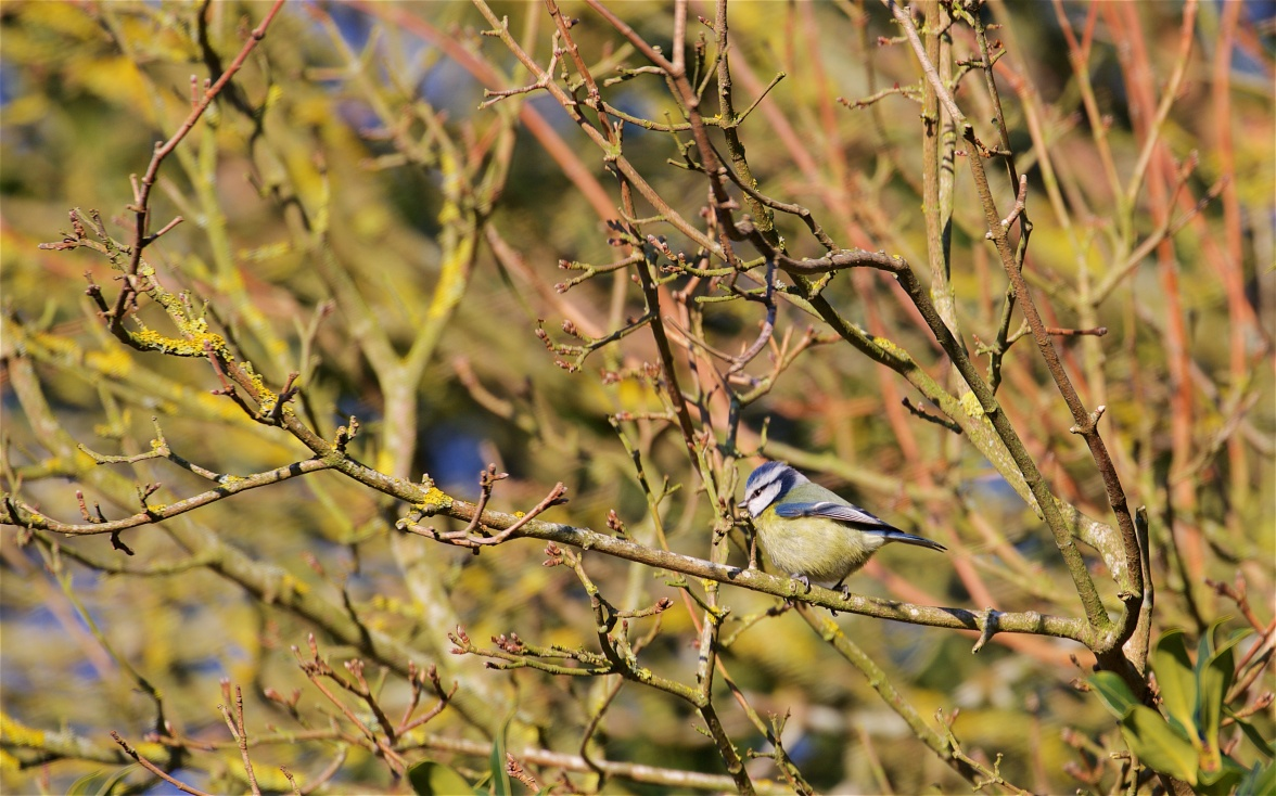 Blue tit in bright sun