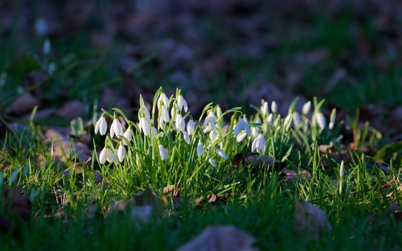 Snowdrops in the churchyard