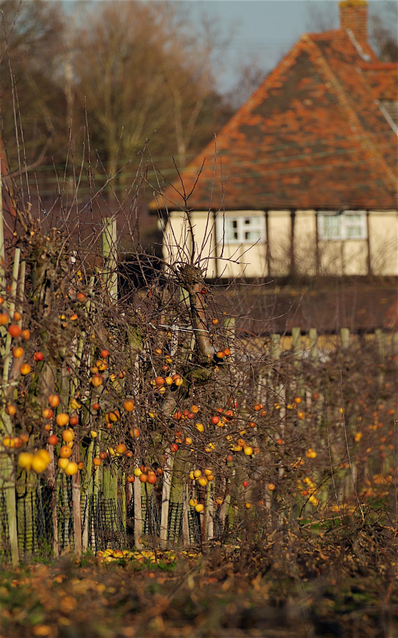 Teynham orchard