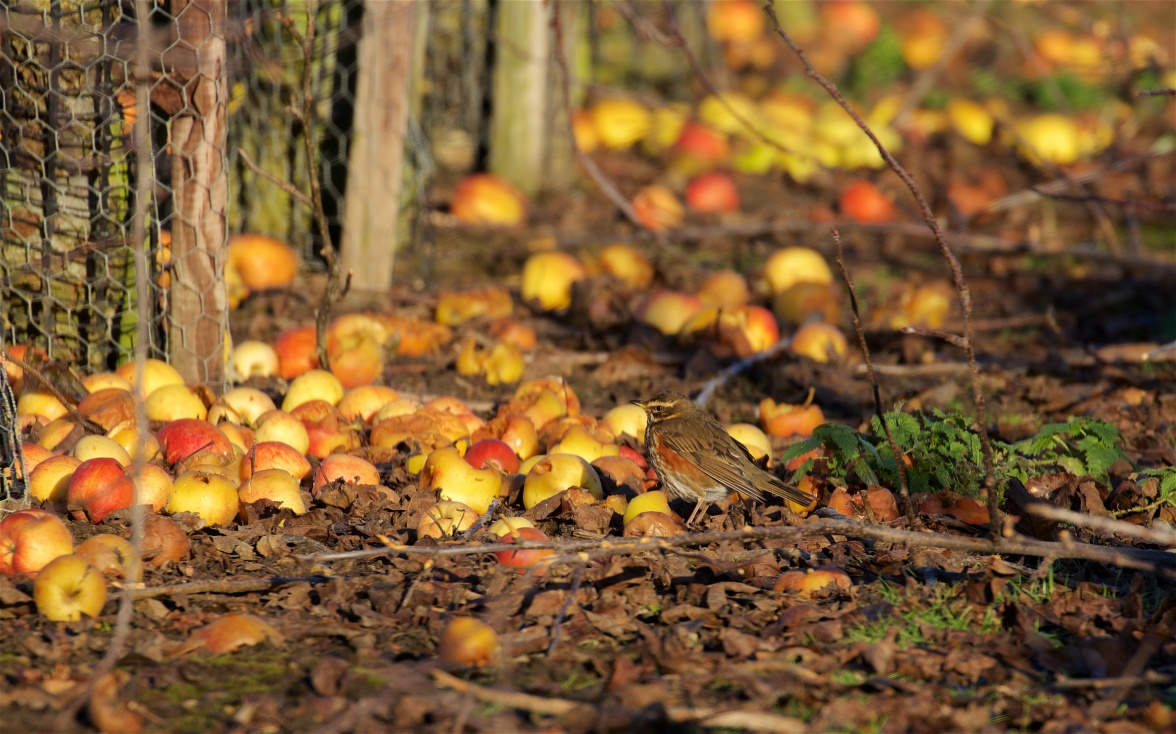Windfalls and redwing