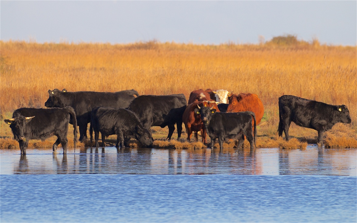 Cattle herd on the edge of the East Flood