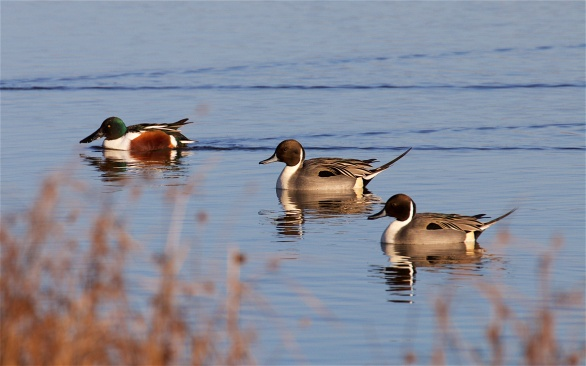 A male shoveler is untroubled by the male pintails