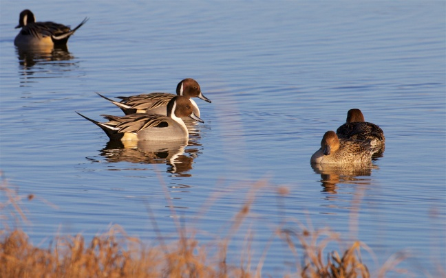 Pintail pairs and disappearing rival male