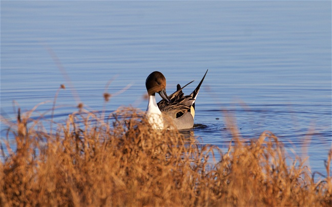 pintail-and-rail-9