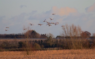 Mute swans returning from the fields to the sanctuary of the reed-fringed mere in Stodmarsh