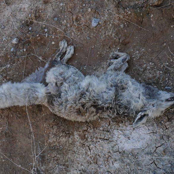 Dead fox on frozen ground