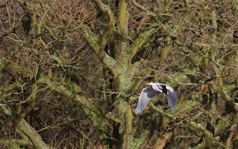 Grey heron leaving the oaks