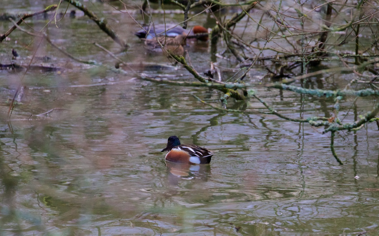 Shoveler and wigeon males