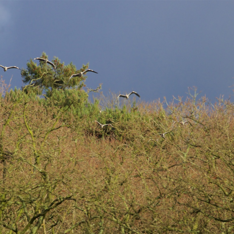Herons take off from their high perches