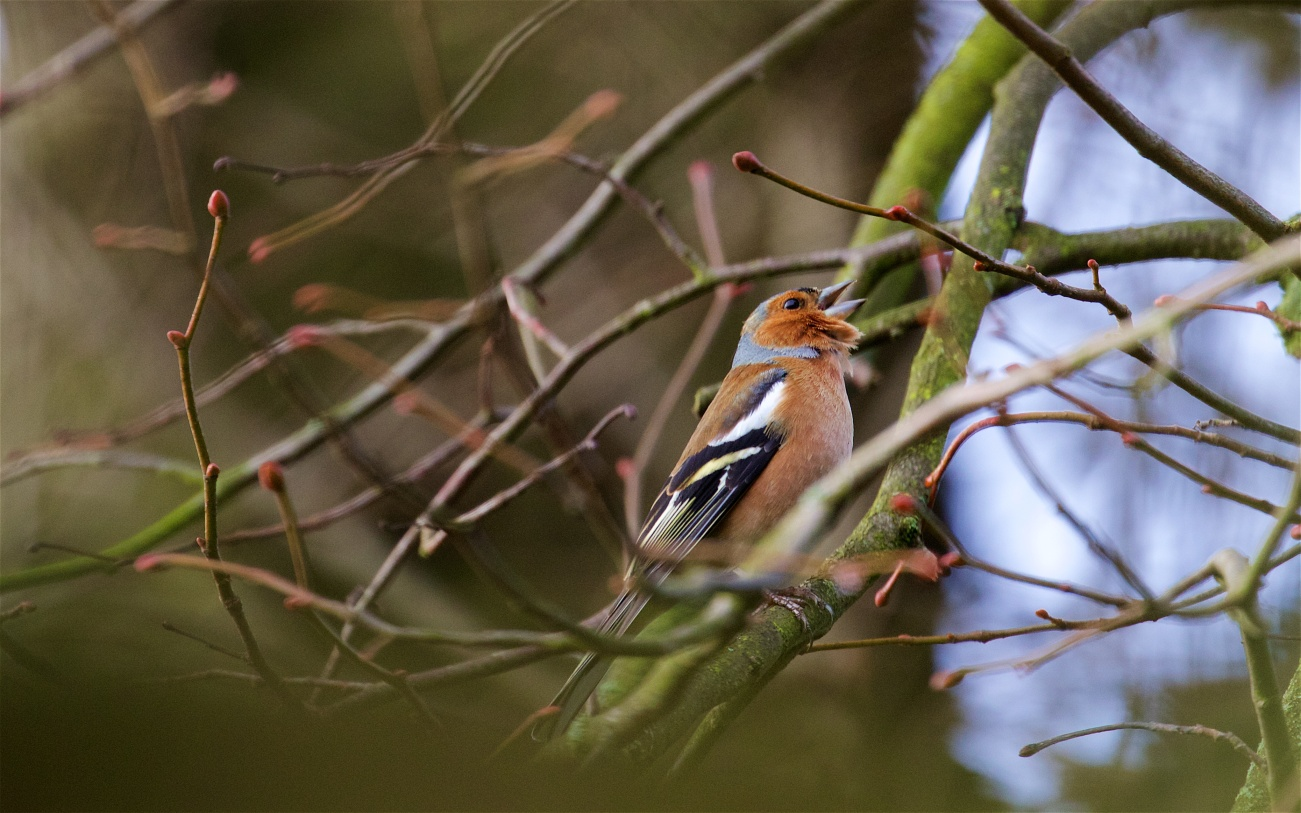 Chaffinch singing his spring song