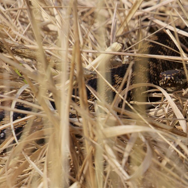 Adder on the heath