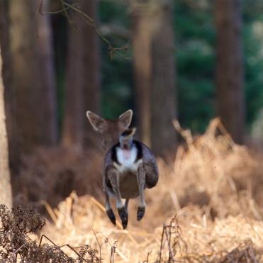 Escaping fallow doe